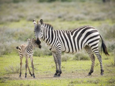 Plains Zebra (Equus quagga) with new born calf, Tanzania, Serengeti National Park, Grumeti River
